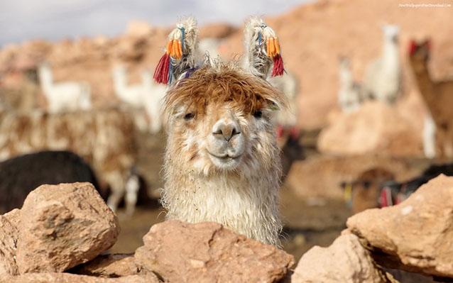 Funny Lama - Long Term Travel