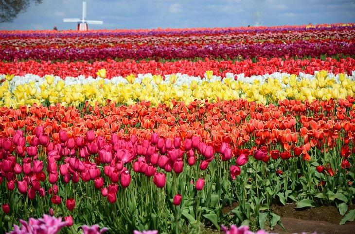 agassiz-tulip-festival