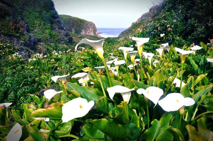 calla-lily-grove-in-garrapata-state-park