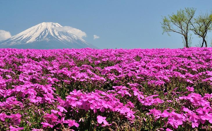 fuji-shibazakura-festival-gardens